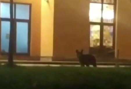 В Сочи медвежонок выскочил на дорогу и попал под машину