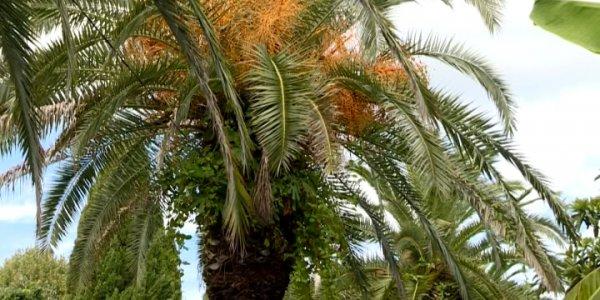 В Сочи обрабатывают пальмы от красного долгоносика