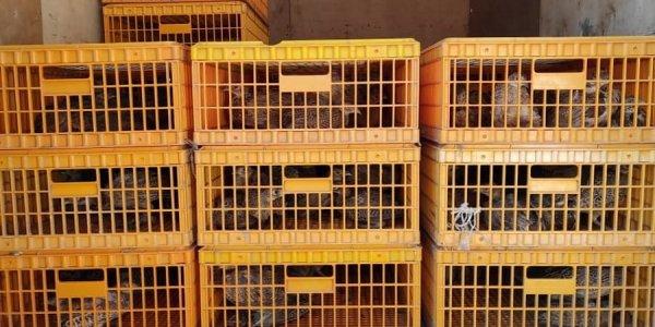 В Староминском районе уничтожили хищников и выпустили 500 фазанов