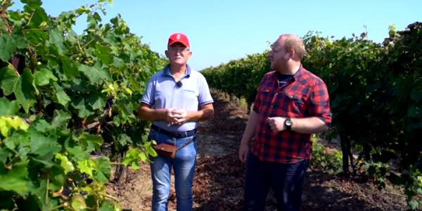 Ведущий «Кубанского аграрного клуба» посетил виноградники Темрюкского района