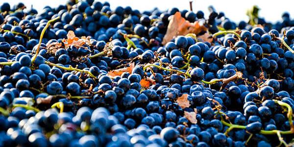 Краснодарский край потеряет 15-20% урожая винограда из-за непогоды