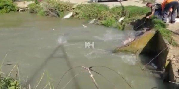 На Кубани выпрыгивающая из западни рыба стала добычей браконьеров