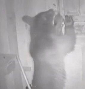 В Адлере сняли на видео, как медвежонок попробовал залезть в курятник