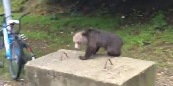 В Сочи жители сняли на видео медведя, идущего вдоль улицы