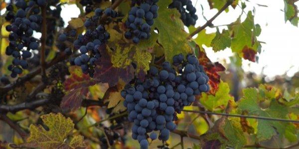 В Анапе фермеры завершают уборку винограда