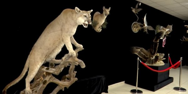 В краснодарском музее Фелицына открылась выставка «Таксидермия как искусство»