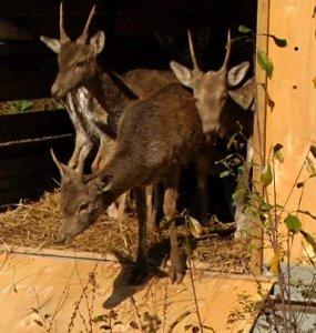 В Горячеключевском заказнике выпустили в естественную среду обитания 25 ланей