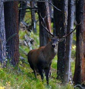 В Кавказском заповеднике пересчитали благородных оленей